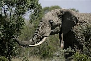Kenya- Elephant with SIM